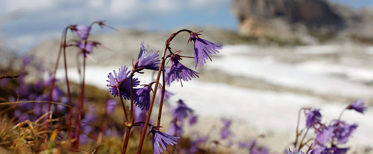 Violet flowers with snow in the background